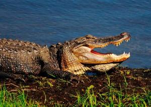 В Екатиренбурге начаты поиски сбежавшего крокодила