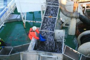 Скумбрия в Северной Атлантике достигла новых высот