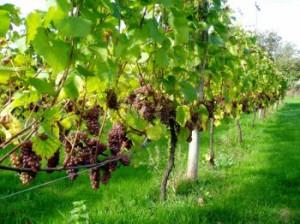 1000-летние виноградники были обнаружены в Испании