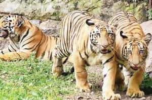 Лондонский зоопарк запустил проект стоимостью 5,7 млн фунтов для сохранения львов