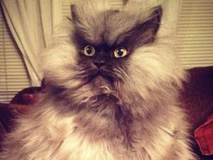 Скончался самый длинношерстный кот в мире – Полковник Мяу