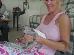 Соединенные Штаты могут узаконить обезьян-помощников