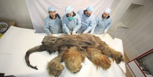Ученые в Якутии официально заявили о возможном клонировании мамонта