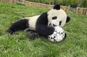 В Китае, пандам запретили предсказывать исход футбольных матчей