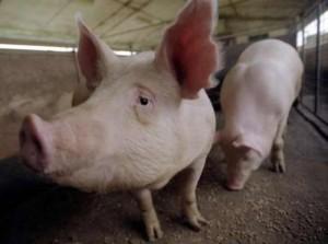 Ученые, чтобы помочь военным, взорвали туши мертвых свиней