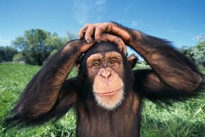 Ученые расшифровали язык шимпанзе