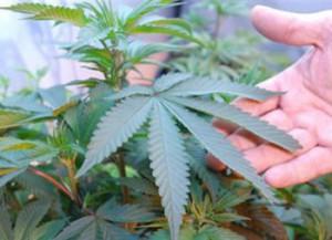 В Нью-Йорке легализовали марихуану
