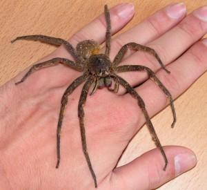 Ученые выяснили: в яде странствующих бразильских пауков находится стимулятор для мужчин