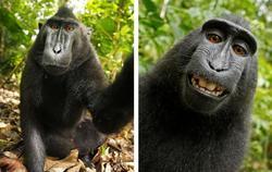 Селфи, сделанное обезьяной, вызвало спор об авторских правах