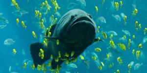 У побережья Флориды гигантский окунь с первого раза проглотил акулу