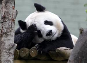 В китайском зоопарке панда ради вкусных булочек притворялась беременной