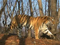 Тигр Кузя, выпущенный на волю президентом Путиным, уплыл в Китай