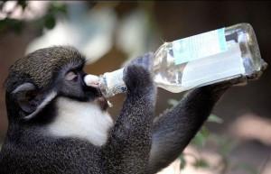 Ученые уверены, что обезьяну в человека превратил алкоголь
