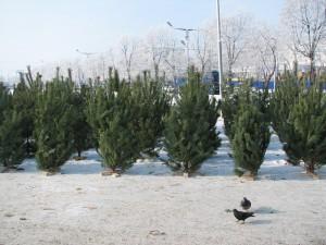 В Новгородской области к новогодним праздникам заготовили больше 9 000 елей