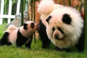 В итальянском цирке разукрашенных чау - чау выдавали за панд