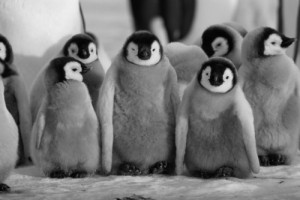 Ученые утверждают, что современный климат идеально подходит для пингвинов