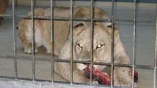 В Белгороде львица задушила пьяного посетителя зоопарка