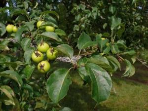 В Латвии нашли дикую яблоню, ствол которой 4 м в обхвате
