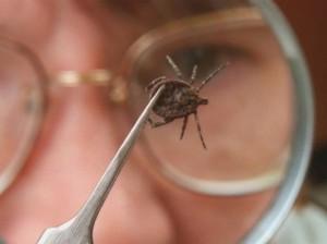 Ученые: обнаружен новый вид возбудителей, который переносят клещи