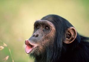 Ученые утверждают, что шимпанзе могут предвидеть будущее