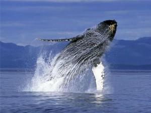 Японские ученые хотят возобновить убийства китов с научной целью