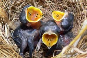 Американские ученые вырастили курицезавра