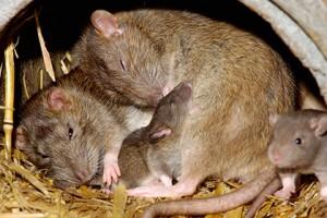 В мозге крыс обнаружен нейронный спидометр - эксперты