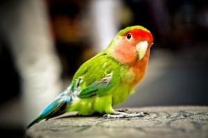 На Кубе возрождают популяции редкого вида попугаев