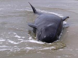 В канадской провинции выбросились 16 черных дельфинов