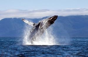 Возле берегов Аляски в США погибло одновременно 30 китов