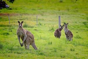 Граждане Австралии просят правительство защитить их от кенгуру