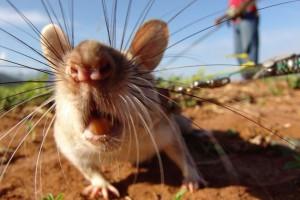 Новый вид крыс обнаружен в Индонезии