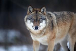 Начался отстрел волков во Французских Альпах