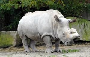 В Южной Калифорнии умерла самка белого носорога
