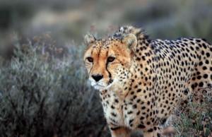В Южной Африке гепард напал на служащего ВВС