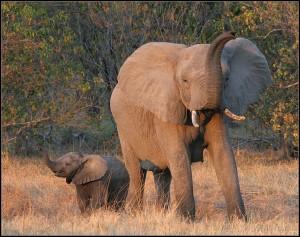 Как спугнуть слона?