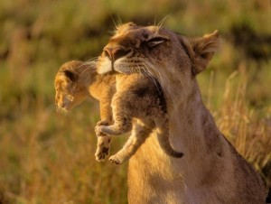 Отравленный-кенийский-львенок-подвергся-эвтаназии