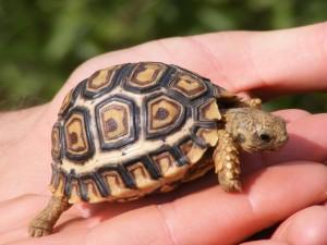 Черепахи Ганы на грани вымирания
