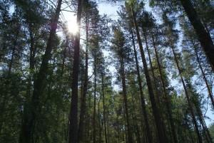 Глава Новозырянского сельсовета стал фигурантом дела о незаконной вырубке Алтайского леса и его продаже за рубеж