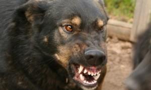 Алтайский край: Бойцовская собака напала на пятерых школьников