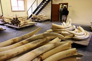 В Кении арестовали и уничтожили самую крупную партию слоновой кости
