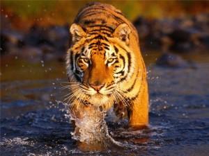Амурские тигры в заказнике «Журавлиный» получат более бдительную охрану, чем раньше