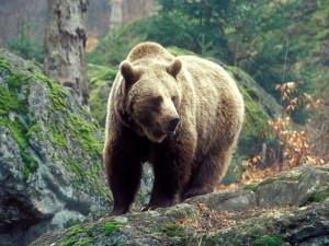 В Мурманской области отстреливают бурых медведей